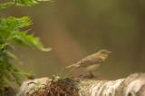 D4S_6171F fitis (Phylloscopus trochilus, Willow Warbler).jpg