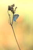 D4S_7193F icarusblauwtje (Polyommatus icarus, Common Blue).jpg