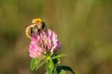 D4S_7420F akkerhommel (Bombus pascuorum, Common carder bee).jpg
