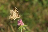 D4S_7397F koninginnenpage (Papilio machaon, Old world swallowtail).jpg