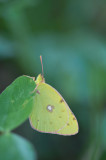 D4S_7265F gele luzernevlinder (Colias hyale, Pale clouded yellow).jpg