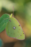 D4S_7288F gele luzernevlinder (Colias hyale, Pale clouded yellow).jpg
