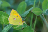 D4S_7325F gele luzernevlinder (Colias hyale, Pale clouded yellow).jpg