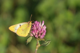 D4S_7376F gele luzernevlinder (Colias hyale, Pale clouded yellow).jpg