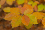 D4S_9933F beukenblad in herfst.jpg