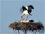 ooievaar (ciconia ciconia); paring/mating