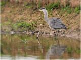 blauwe reiger-blue heron  juvenile
