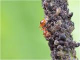 gele weidemier (Lasius flavus)