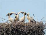 ooievaars-kuikens (Circonia circonia)  4 stork-chicks