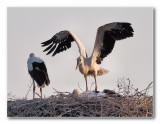 4 ooievaar-kuikens; 4 stork-chicks