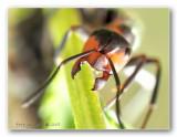 gele weidemier (Lasius flavus) jaws of an ant