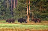 Last European bisons