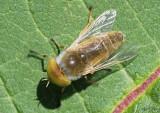 Horse Fly - Tabaninae