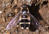 Bee Fly Villa
