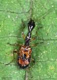 Ground Beetle Colliurus pensylvanicus