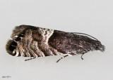 Speckled Sereda Moth Sereda tautana #3425