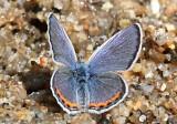 Acmon Blue Plebejus acmon