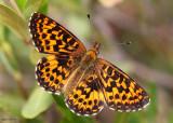 Purplish Fritillary Boloria montinus