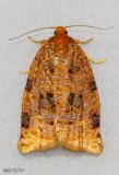 Ugly-nest Caterpillar Moth Archips cerasivorana #3661