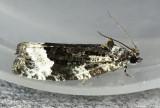 Funereal Apotomis Moth Apotomis funerea #2755