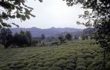 Rize Tea country 2002 107.jpg