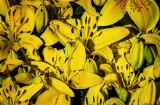 A Chorus of Lilies