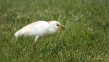 Hungry Cattle Egret