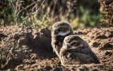Burrowing Owl Chicks