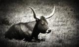 Pastoral Longhorn
