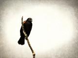 Tri Color Blackbird