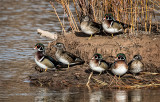 Wood Ducks on a Sandbar