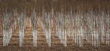 Marching Farm Trees