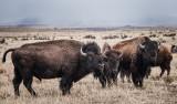 Bison, Near Cimarron, New Mexico