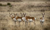 Antelope Near Cimarron, NM