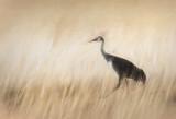 Meandering Sandhill Crane - the Zen of Prairie Grass