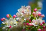 Spring Standard, The Apple Blossom
