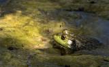Pond Bullfrog
