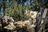 Alaskan White Wolf