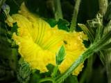 Squash Blossom & Bug