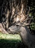 Young Buck - Mule Deer
