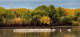 White Pelicans - Bosque del Apache NWR