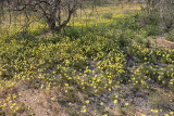 Carpet of Yellow Desert Dandelions