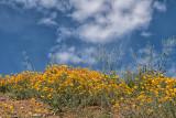 A Ridge of Golden Poppies