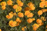 California Poppy (Orange)