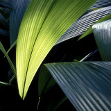 Rain Forest Fronds