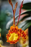 Orchid 037