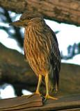 Female Night Heron