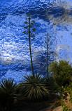 Century Plant on Blue
