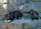 Chimpanzee Play