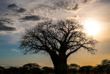 Baobab Tree: Africa's Iconic 'Tree of Life'
